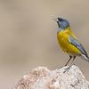 Grey-hooded Sierra-Finch (Phrygilus gayi), Farellones, Chile