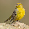 Greater Yellow-Finch (Sicalis auriventris), Farellones, Chile