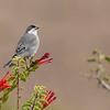 Common Diuca-Finch (Diuca diuca), Farellones, Chile
