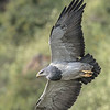 Black-chested Buzzard-Eagle (Geranoaetus melanoleucus), Farellones, Chile