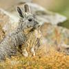 Mountain Viscacha (Lagidium viscacia), Farellones, Chile