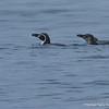 Humboldt Penguin, Spheniscus humboldti