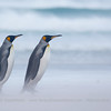 King Penguin (Aptenodytes patagonica), Volunteer Point, Falklands Islands / Islas Malvinas