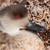 Crested Duck (Lophonetta specularioides), Carcass Island, Falkland Islands / Islas Malvinas