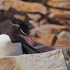 Rockhopper Penguin (Eudyptes chrysocome), West Point Island, Falkland Islands / Islas Malvinas