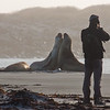 Guest Carlos Tampier taking shots of Southern Elephant Seals (Mirounga leonina), Sea Lion Island, Falkland Islands / Islas Malvinas