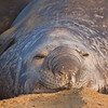 Southern Elephant Seal (Mirounga leonina), Sea Lion Island, Falkland Islands / Islas Malvinas