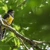 Gartered Trogon (Trogon caligatus), Los Tarrales Reserve, Guatemala