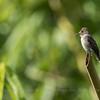 Tropical Pewee (Contopus cinereus), Los Tarrales Reserve, Guatemala
