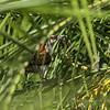 Rufous-naped Wren (Campylorhynchus rufinucha), Los Tarrales Reserve, Guatemala