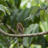 Ferruginous Pygmy-Owl (Glaucidium brasilianum), Los Tarrales Reserve, Guatemala