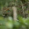 Blue-throated Motmot (Aspatha gularis), Chimaltenango, Tecpan, Guatemala
