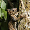 Variegated Squirrel (Sciurus variegatoides), Los Tarrales Reserve, Guatemala