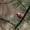 Pink-headed Warbler (Cardellina versicolor), Caleras De Chichavac, Chimaltenango , Guatemala