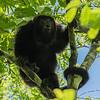 Yucatan Black Howler (Alouatta pigra), Tikal NP, Guatemala