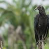 Black Vulture (Coragyps stratus), San Benito, Petén, Guatemala