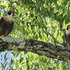 Orange-breasted Falcon (Falco deiroleucus), Tikal NP, Guatemala