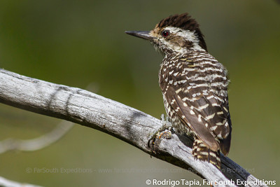 Striped Woodpecker, Veniliornis lignarius