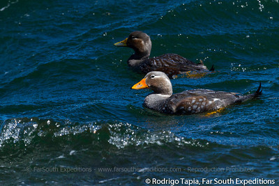 Flying Steamer Duck, Tachyeres patachonicus