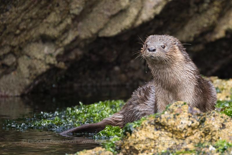 Chungungo or Marine Otter (Lontra felina), Puñihuil, Chiloé