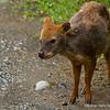 Pudu Deer (Pudu pudu)