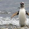 Magellanic Penguin, Spheniscus magellanicus, Patagonia, Chile