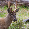 Andean Deer or Huemul, Hippocamelus bisulcus
