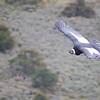 Andean Condor, Vulture gryphus, Magallanes, Chile