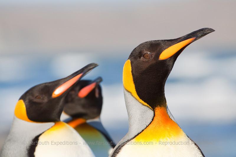 King Penguins, Aptenodytes patagonica, Bahia Inutil, Tierra del Fuego, Chile