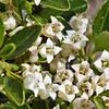Discaria chacaye, Fam. Rhamnaceae