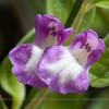 Scutellaria nummulariifolia, Fam. Lamiaceae