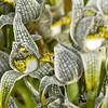 Chloraea magellanica, Fam. Orchidaceae