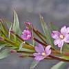 Epilobium conjungens, Fam. Onagraceae