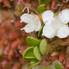 Myrteola nummularia, Fam. Myrtaceae