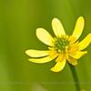 Ranunculus peduncularis, Fam. Ranunculaceae