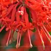 Embothrium coccineum, Fam. Proteaceae