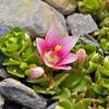 Anagallis alternifolia, Fam. Primulaceae