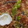 Luzuriaga marginata, Fam. Luzuragiaceae