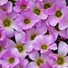 Oxalis eneaphylla, Fam. Oxalidaceae