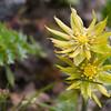 Hamadryas magellanica, Fam. Ranunculaceae