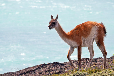 Guanaco (Lama guanicoe), Pehoe Lake, Torres del Paine NP, Chile