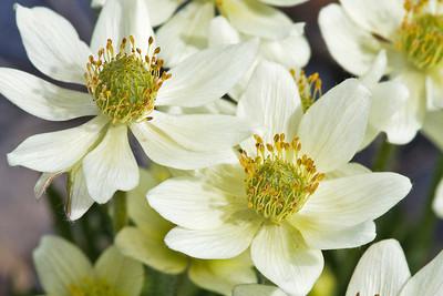 Anemone multifida, Fam. Ranunculaceae