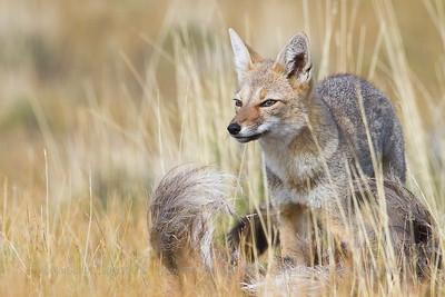 South American Gray or Chilla Fox, Lycalopex griseus