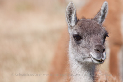 Young Guanaco or locally known as 'Chulengo'