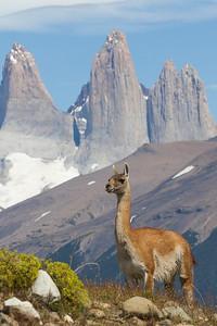 Guanaco, Lama guanicoe, Torres del Paine National Park, Chile