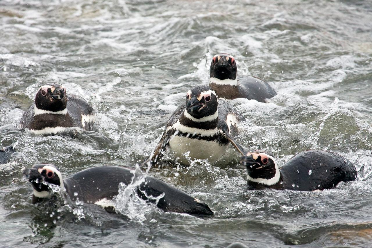 Magellanic Penguin, Spheniscus magellanicus, Magdalena Island, Patagonia, Chile
