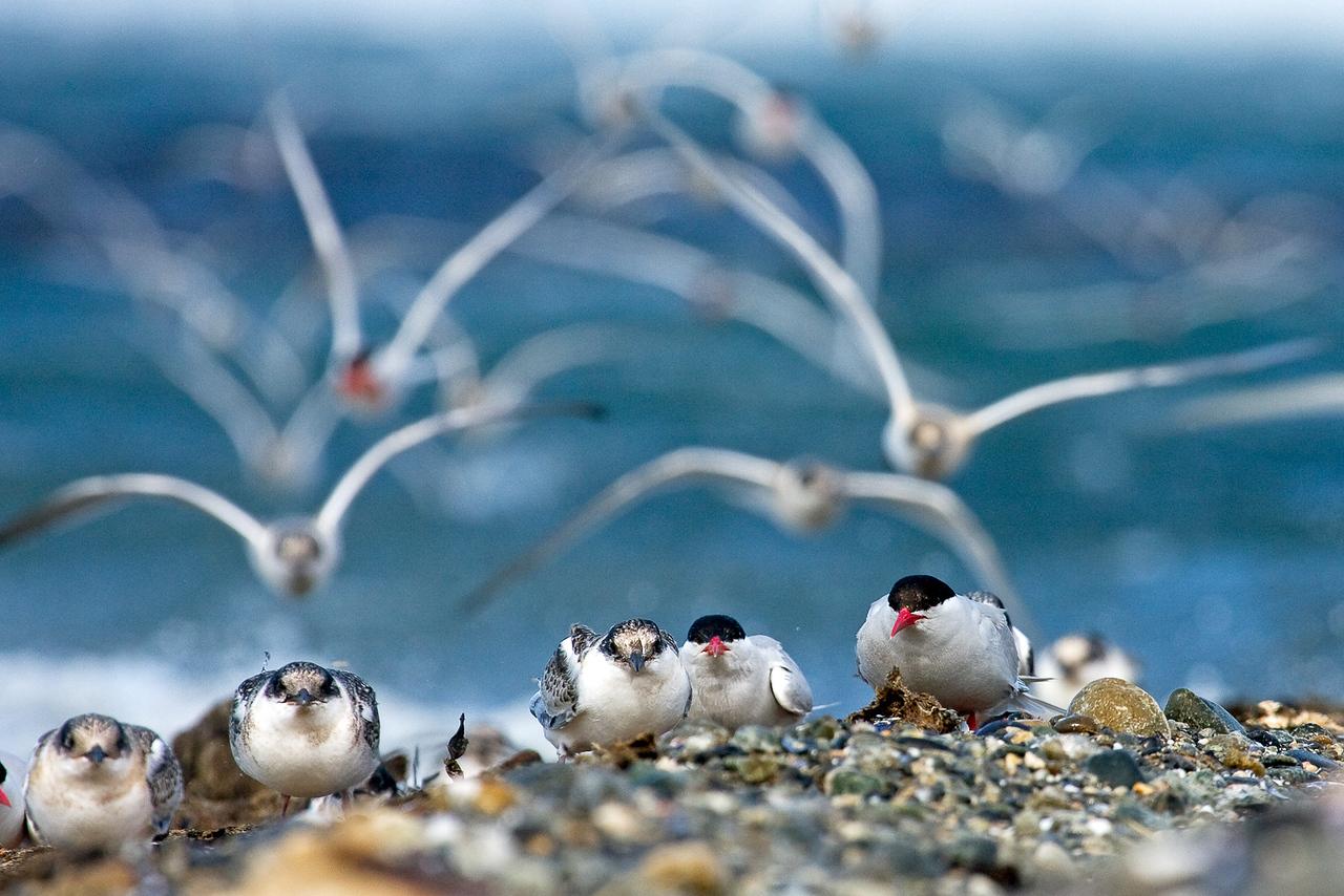 South American Terns, Sterna hirundinacea, Magdalena Island, Patagonia, Chile
