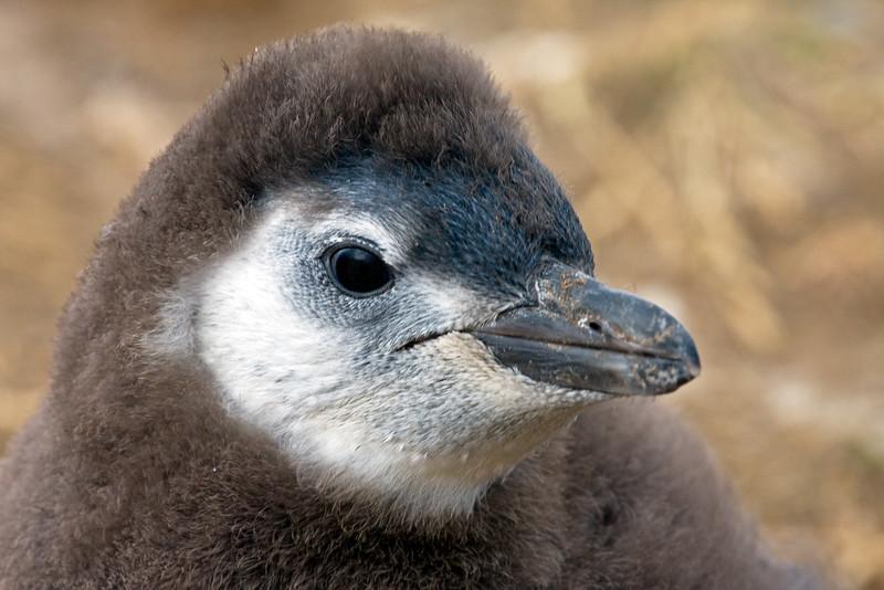 Magellanic Penguin chick, Spheniscus magellanicus, Magdalena Island, Patagonia, Chile