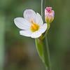 Sysirinchium sp., Fam. Iridaceae, Los Glaciares National Park, Argentina