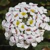 Menonvillea sp., Fam. Brassicaceae